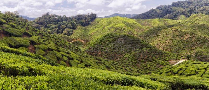 Cameron Highlands Tea Plantation Panorama immagini stock libere da diritti