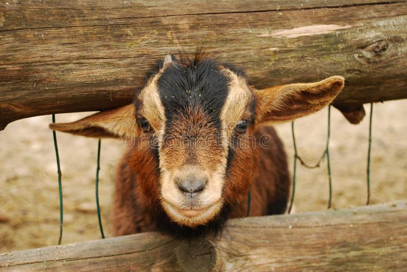 The Cameroon goat or African pygmy goat is a breed of miniature domestic goat royalty free stock image