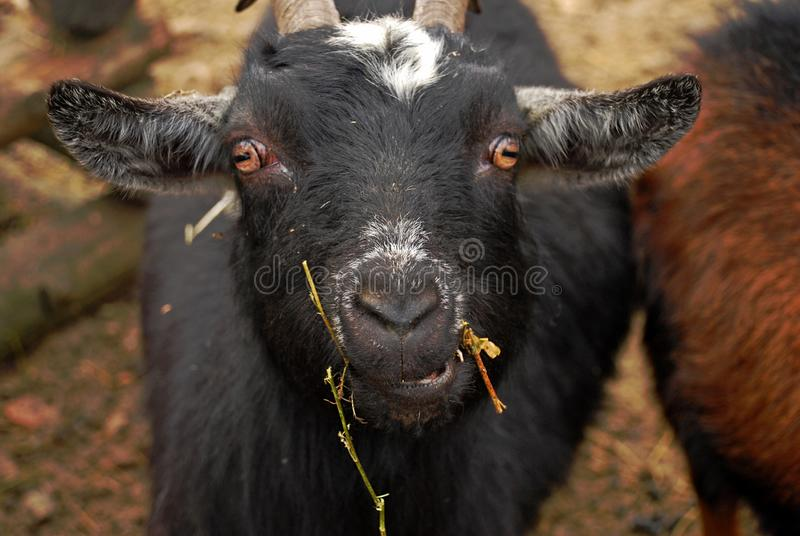 The Cameroon goat or African pygmy goat is a breed of miniature domestic goat. Cameroon goats have the natural passion for high jumps and tree climbing.That is royalty free stock photo