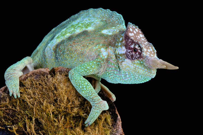 Cameroon sailfin chameleon / Trioceros montium. The Cameroon sailfin chameleon is a true dragon of our time royalty free stock photography
