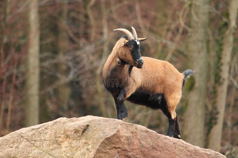 Cameroon-Schafe stockfoto