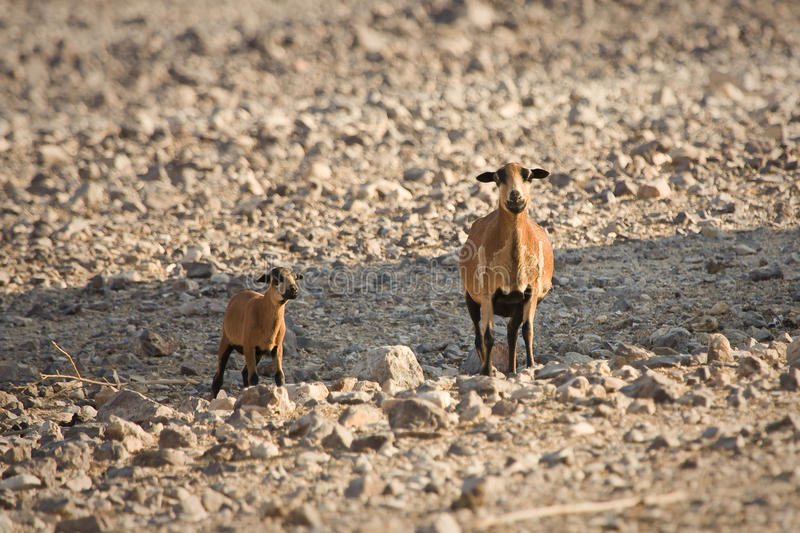 Download Cameroon Sheep Royalty Free Stock Image - Image: 10430946