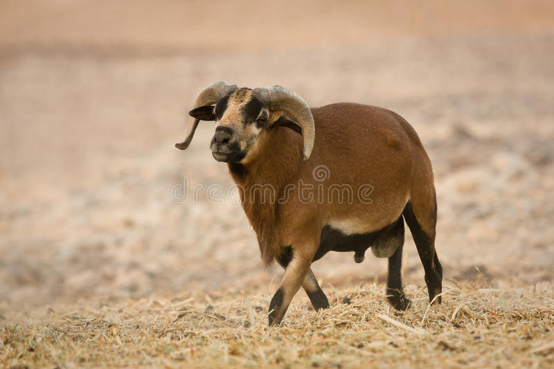 Download Cameroon Sheep male stock image. Image of landrace, coat - 10430907