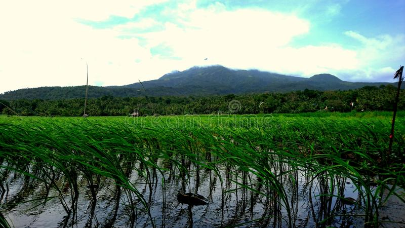 Camiguin volcano with paddy-field stock photo