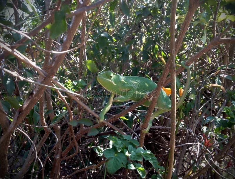 Camilion dans la forêt verte photos libres de droits