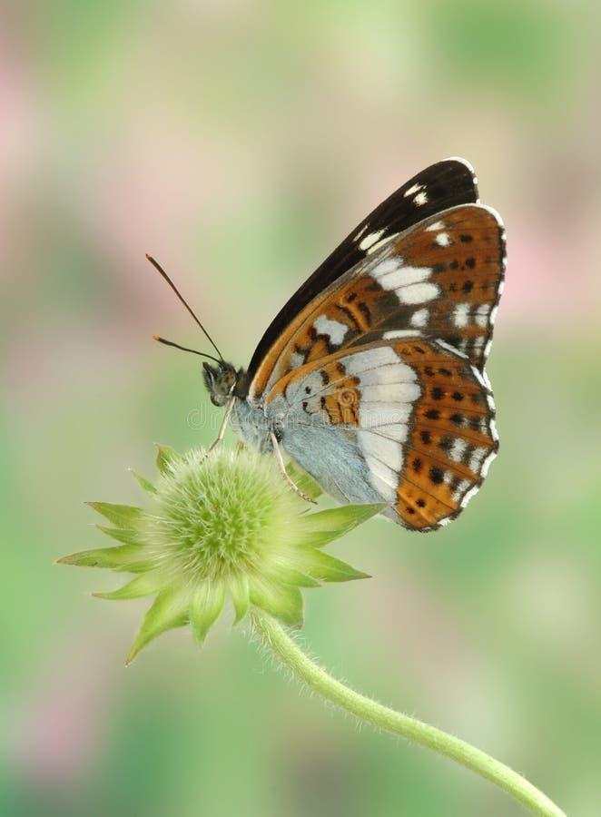 camilla limenitis zdjęcia stock