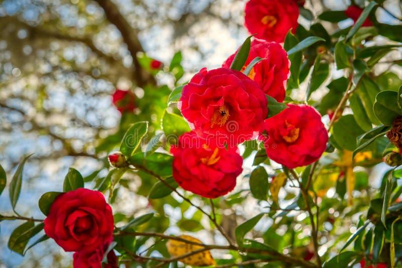 Camilla rossa con un fondo vago fotografia stock