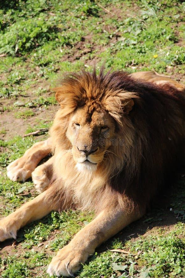 CAMILLE MORENOS -Lion stock image