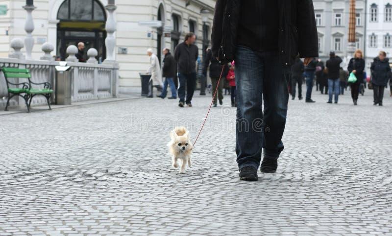 Caminando un pequeño perro de la ciudad foto de archivo libre de regalías