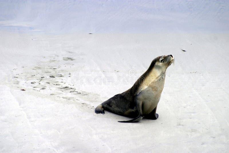 Caminata del león de mar imagen de archivo libre de regalías