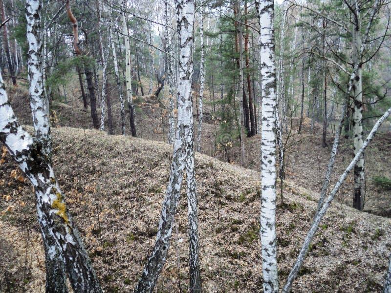 camine en el bosque en el aire fresco en la primavera temprana debajo de árboles altos imagen de archivo