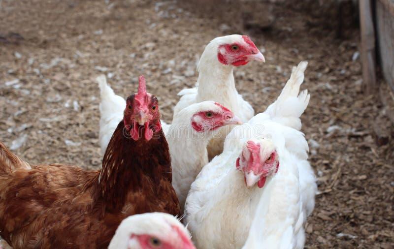 Caminhada branca e uma marrom da galinha na pena nos ovos da configuração da exploração agrícola fotografia de stock royalty free