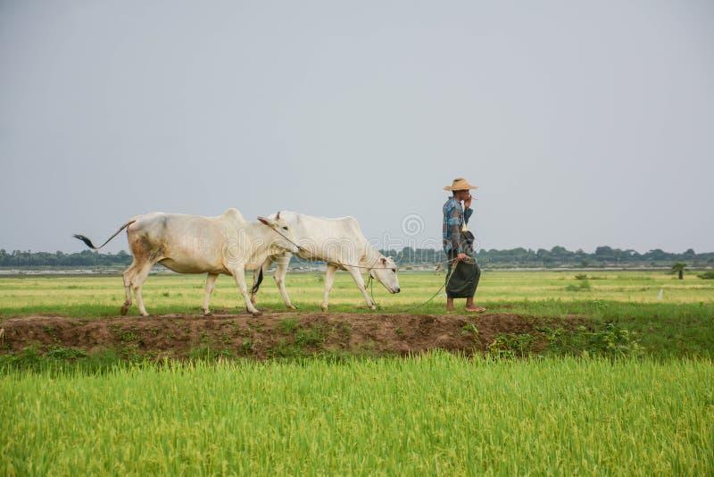 Caminhada burmese do fazendeiro com a vaca no campo da almofada ou do arroz situado em Bagan fotografia de stock