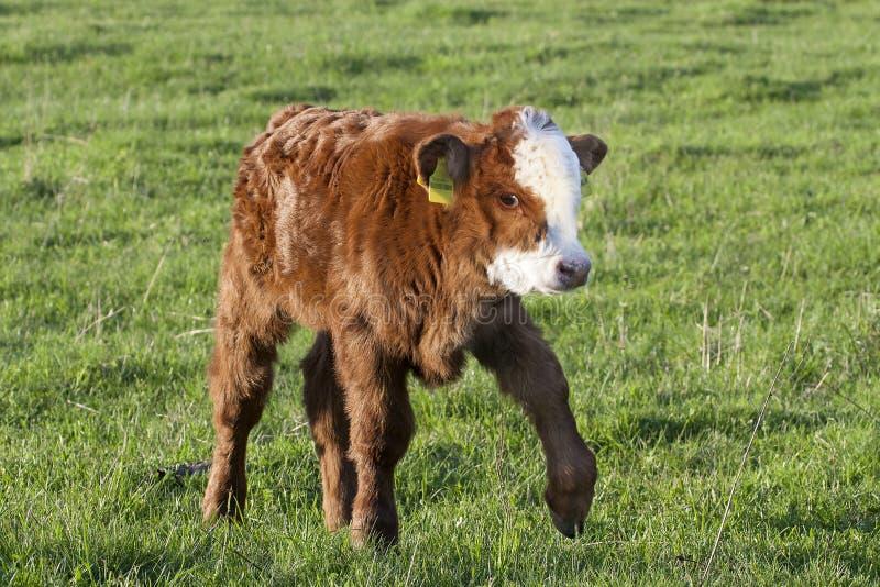 Caminhada da vitela de Brown no prado verde imagem de stock royalty free