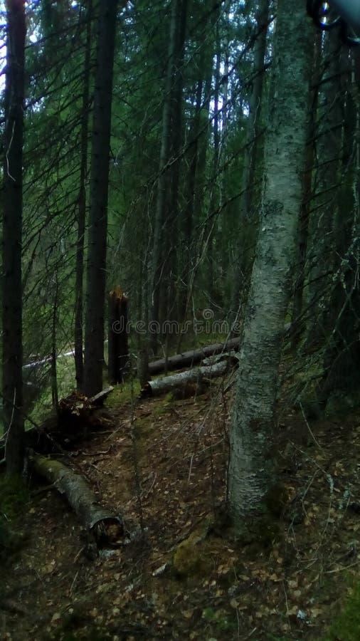 Caminhada de Carélia nas madeiras imagens de stock