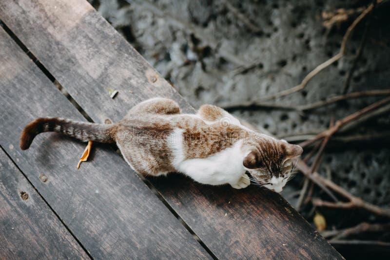 Caminhada de gato de Brown no assoalho de madeira foto de stock