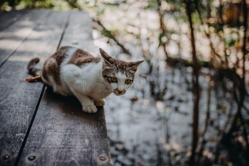 Caminhada de gato de Brown no assoalho de madeira fotografia de stock royalty free