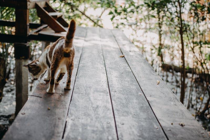 Caminhada de gato de Brown no assoalho de madeira fotografia de stock