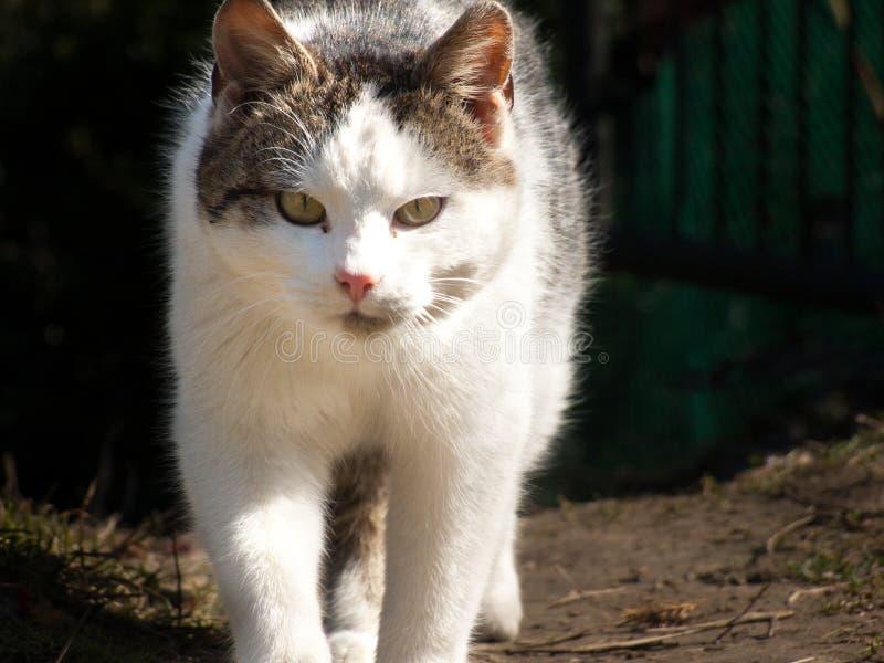 Caminhada de gato doce cinzenta branca imagens de stock royalty free