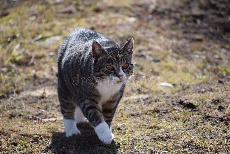 Caminhada de gato no dia ensolarado fotografia de stock