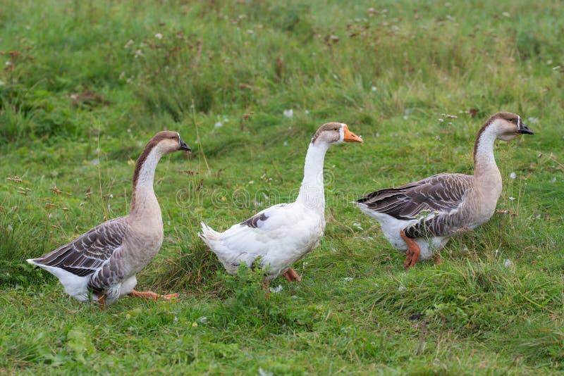 Caminhada de três gansos na grama imagens de stock