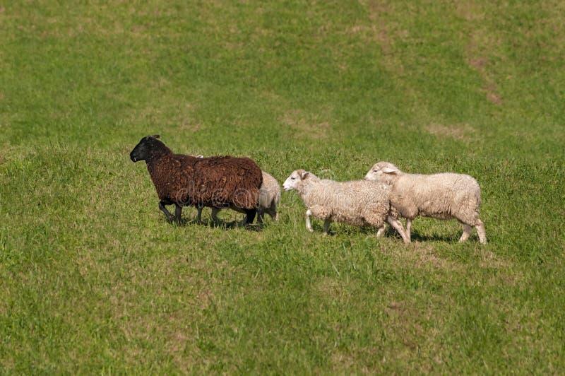 Caminhada do aries do Ovis de quatro carneiros deixada calma fotografia de stock royalty free