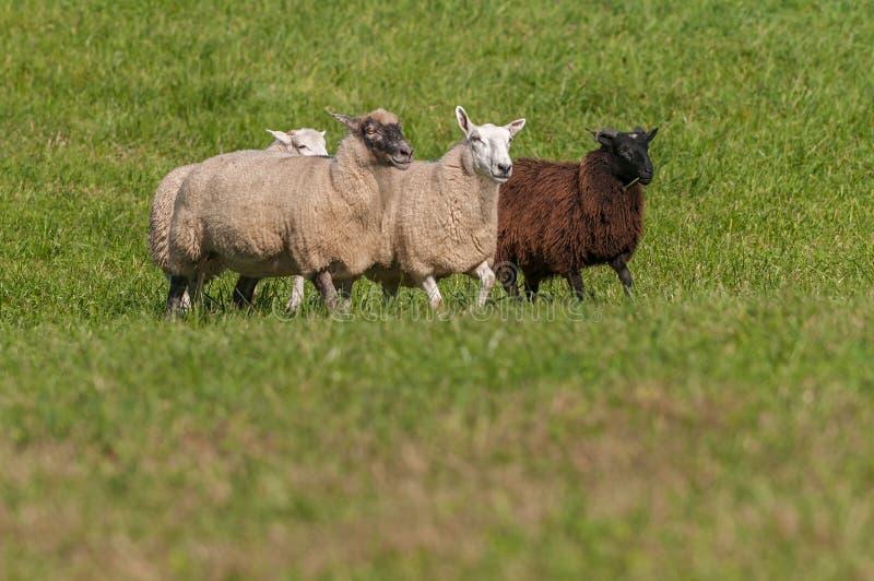 Caminhada do aries do Ovis de quatro carneiros dentro fotografia de stock