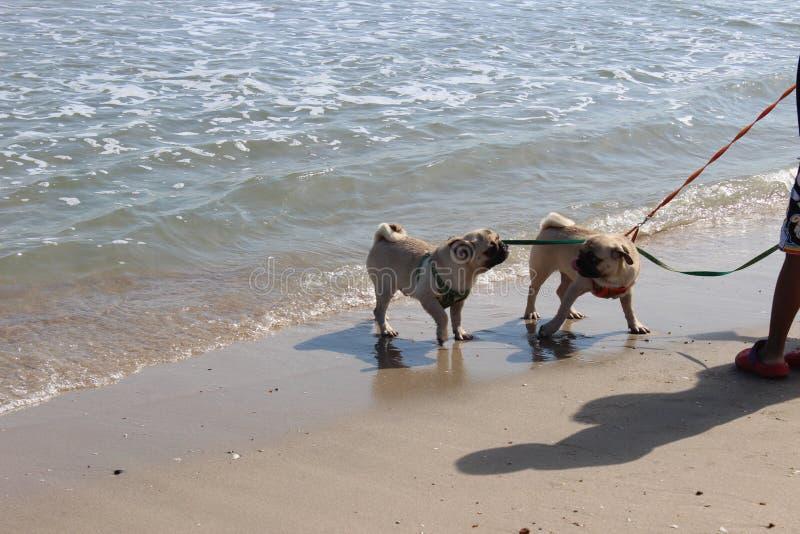 Caminhada do cão do Pug no mar fotografia de stock royalty free