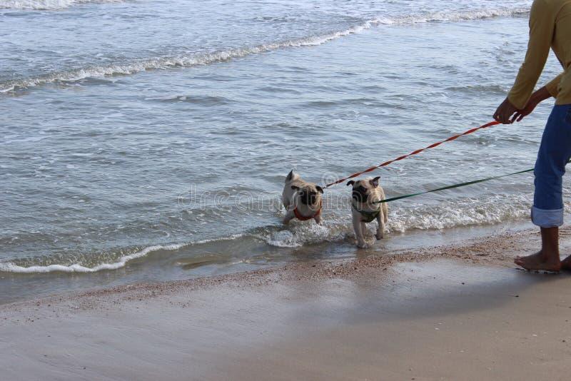 Caminhada do cão do Pug no mar imagens de stock
