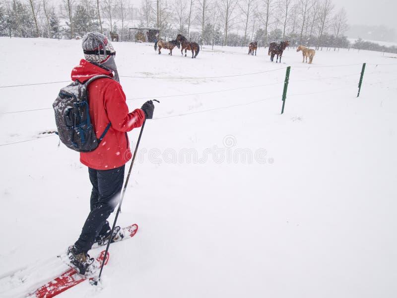 Caminhada do caminhante dos sapatos de neve na exploração agrícola do cavalo Estação do inverno fotografia de stock