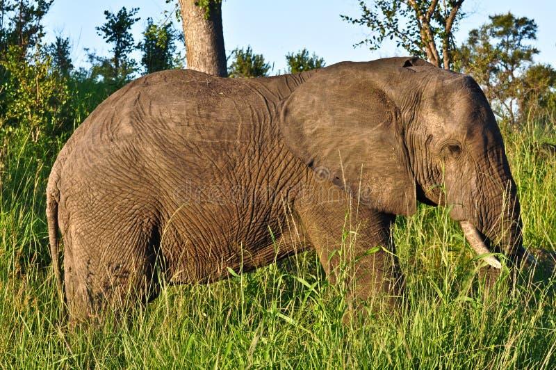 Caminhada do elefante