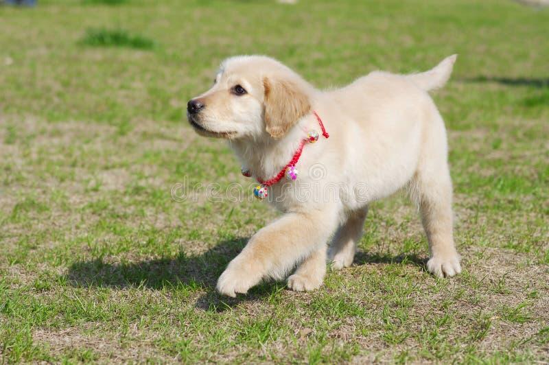 Caminhada do filhote de cachorro do retriever dourado fotografia de stock
