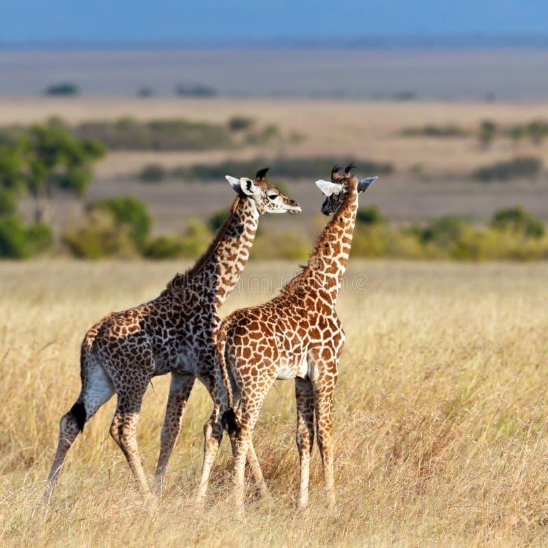 Caminhada do giraffe de dois bebês no savana foto de stock