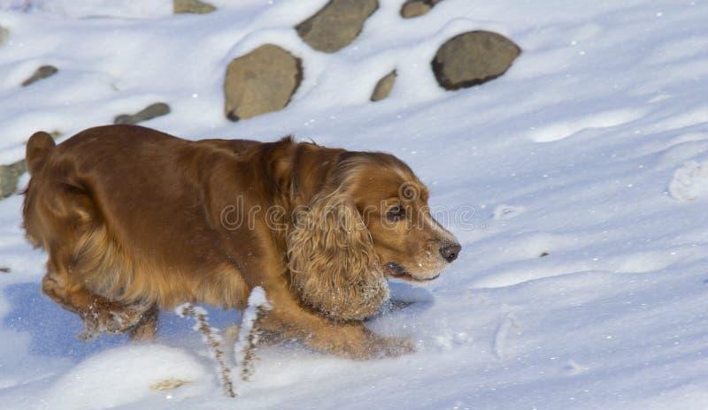 Caminhada do inverno com spaniel imagem de stock royalty free