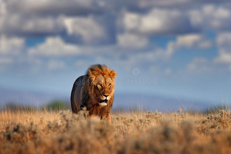 Caminhada do le?o Retrato do le?o africano, Panthera leo, detalhe de animais grandes, Etocha NP, Nam?bia, ?frica Gatos no habitat imagem de stock