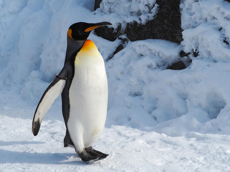 Caminhada do pinguim na neve fotografia de stock royalty free