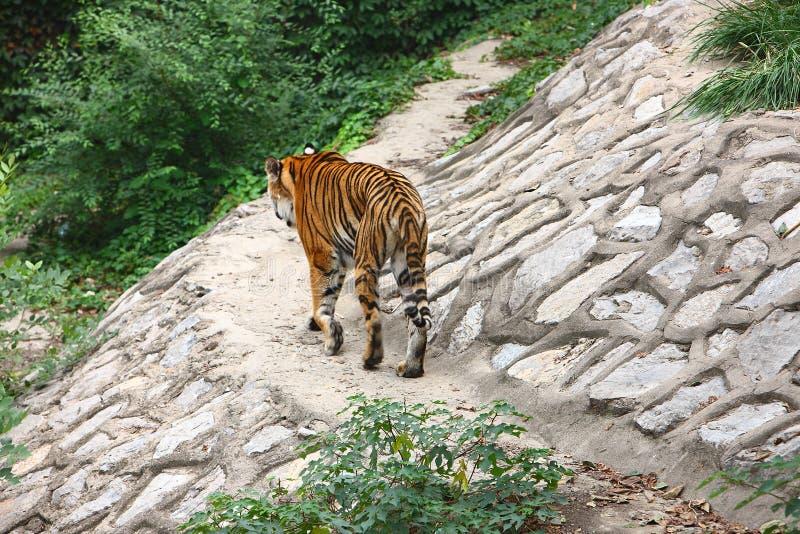 Caminhada do tigre imagens de stock