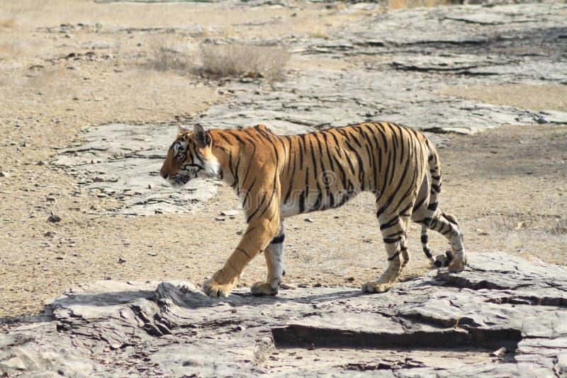 Caminhada do tigre fotografia de stock royalty free