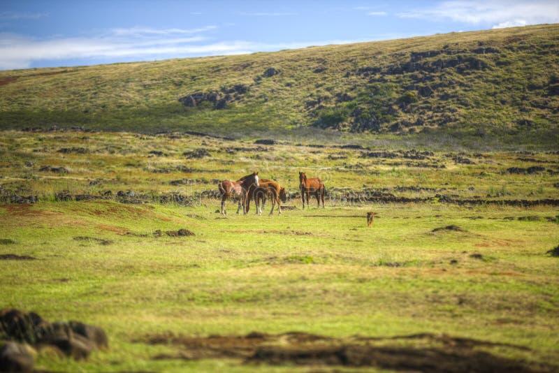 Caminhada dos cavalos selvagens no campo fotos de stock royalty free