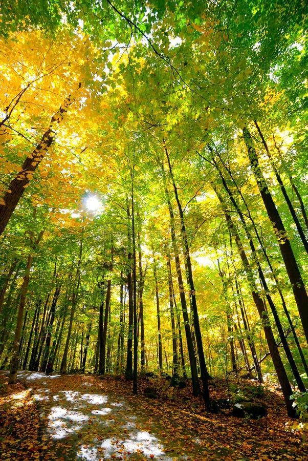 Caminhada ensolarada através das madeiras imagens de stock royalty free