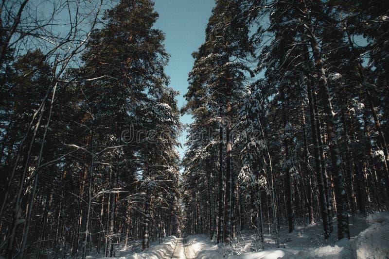 Caminhada na floresta do inverno imagens de stock royalty free