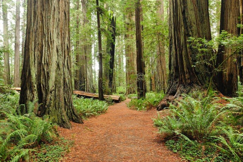 Caminhada no parque nacional do Redwood fotografia de stock royalty free
