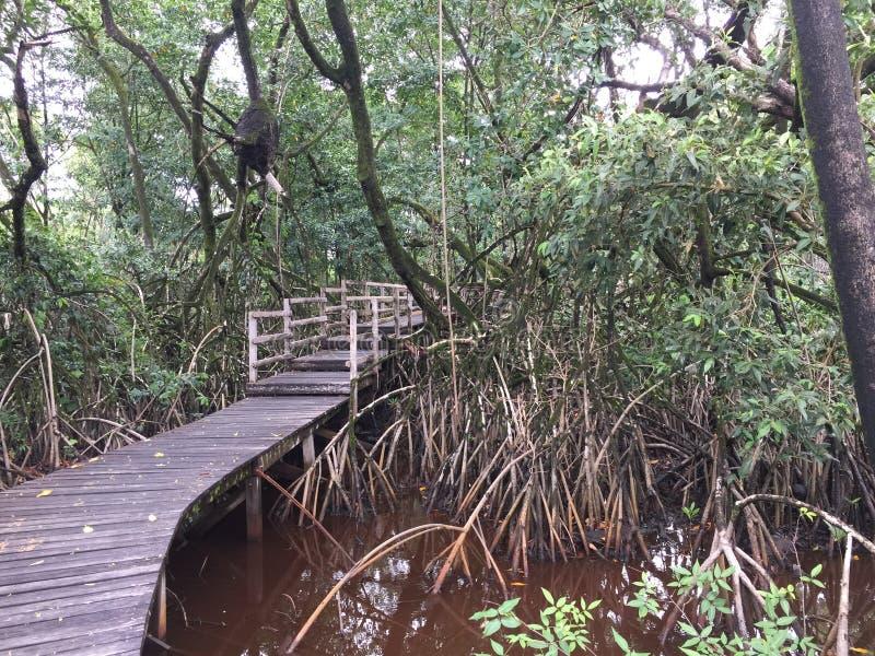 Caminhada nos manguezais fotos de stock royalty free
