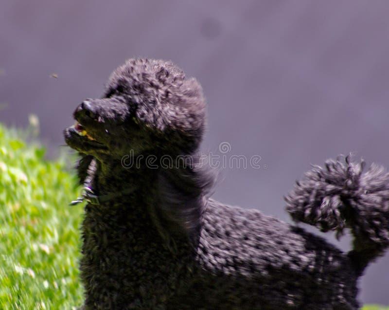 A caminhada tem características faciais muito bem definidas e é facilmente distinguível de toda a outra raça do cão: A cabeça é m imagens de stock