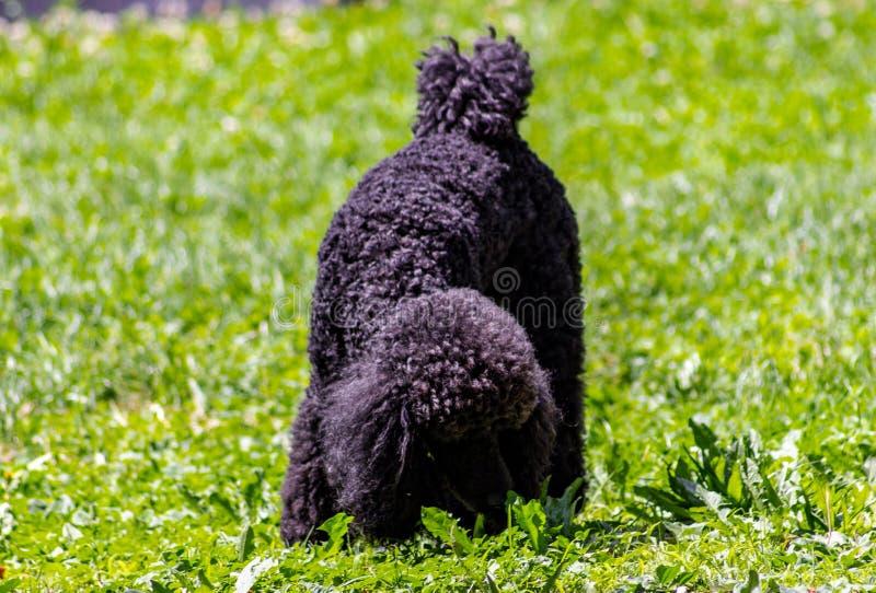 A caminhada tem características faciais muito bem definidas e é facilmente distinguível de toda a outra raça do cão: A cabeça é m fotos de stock royalty free