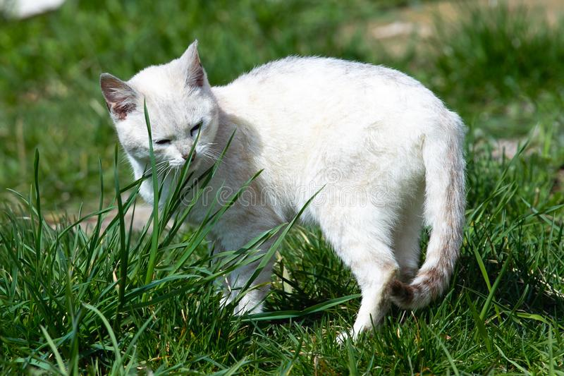 Caminhadas de gato brancas bonitas no gramado da grama verde em um dia ensolarado imagem de stock