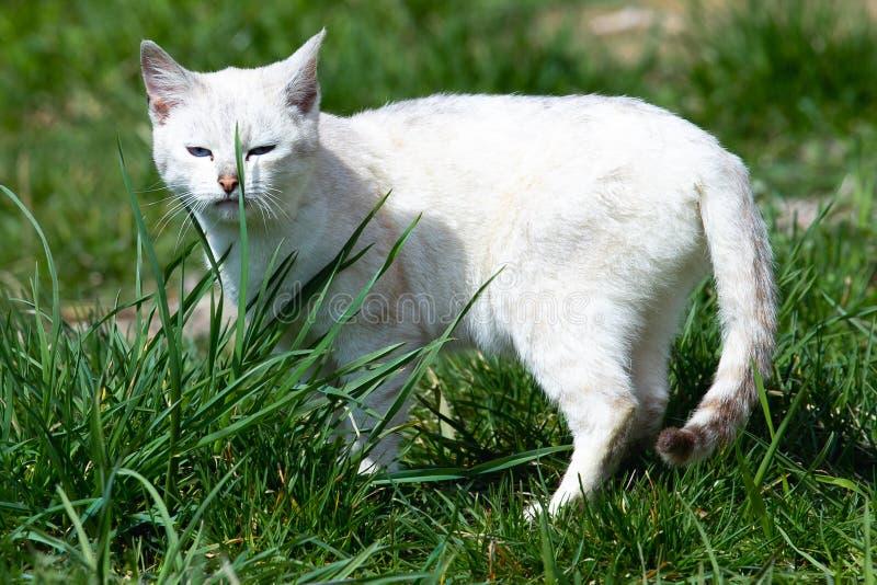 Caminhadas de gato brancas bonitas no gramado da grama verde em um dia ensolarado imagens de stock