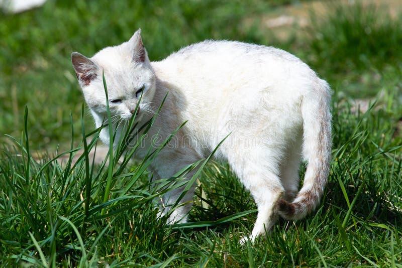 Caminhadas de gato brancas bonitas no gramado da grama verde em um dia ensolarado foto de stock royalty free