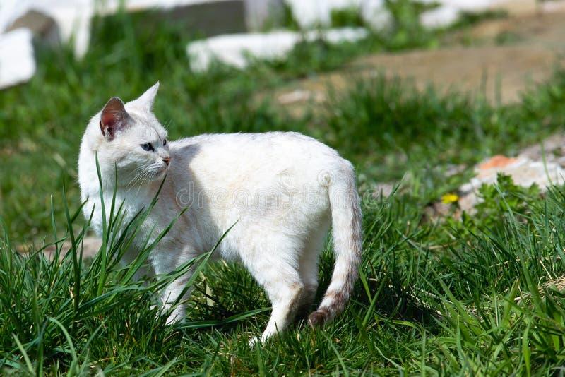 Caminhadas de gato brancas bonitas no gramado da grama verde em um dia ensolarado foto de stock