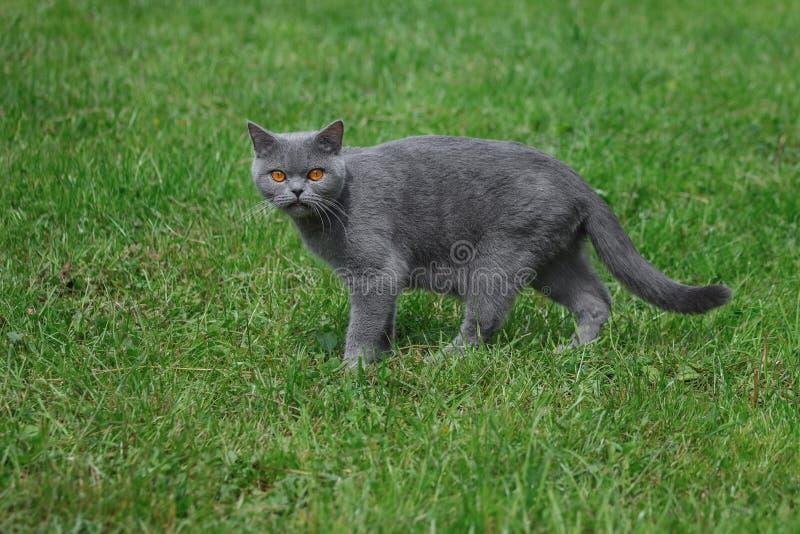 Caminhadas de gato cinzentas do puro-sangue na grama verde foto de stock